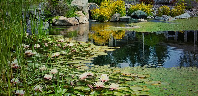 lily pads on pond with large rocks
